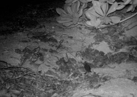 東沙環礁國家公園海龜再次上岸產卵