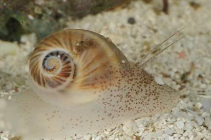 當扁鑽哥碰到凌波微步-小灰玉螺的獵食與攝食