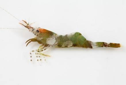 東沙環礁國家公園發現台灣新紀錄種藻蝦