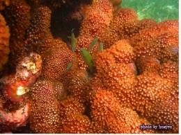 東沙島的藍綠光鰓雀鯛