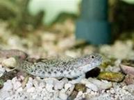 東沙島新紀錄種鰕虎科魚種