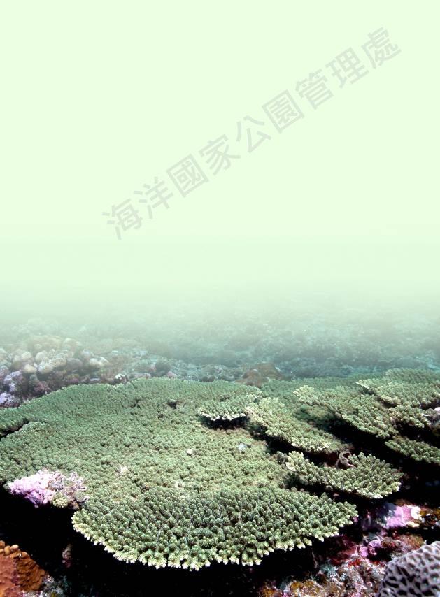 桌形軸孔珊瑚