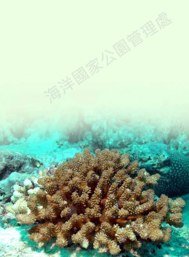 疣鹿角珊瑚