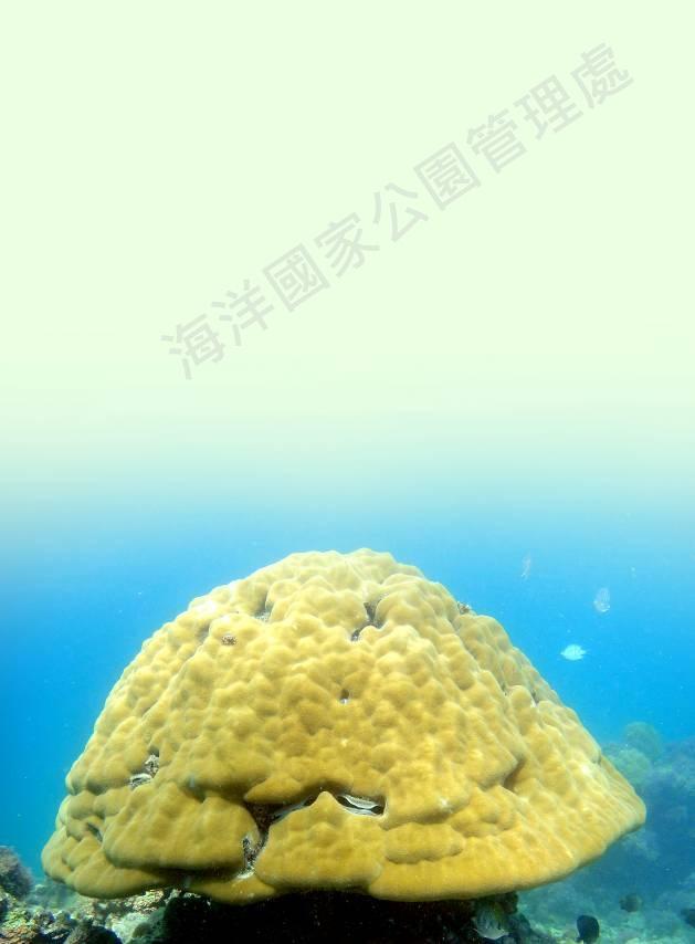 鐘形微孔珊瑚