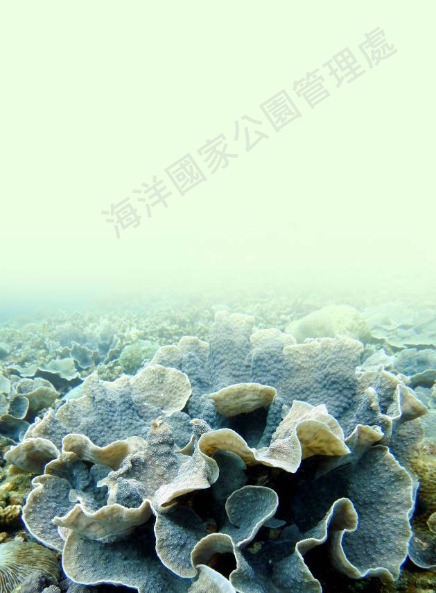 片棘孔珊瑚