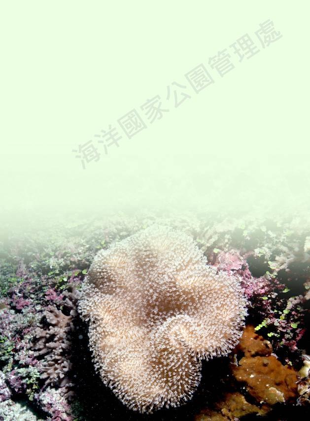 花環肉質軟珊瑚