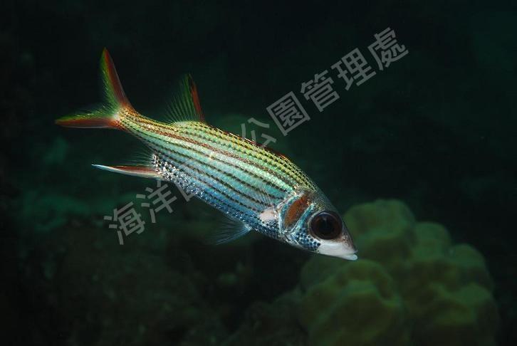 莎姆金鱗魚