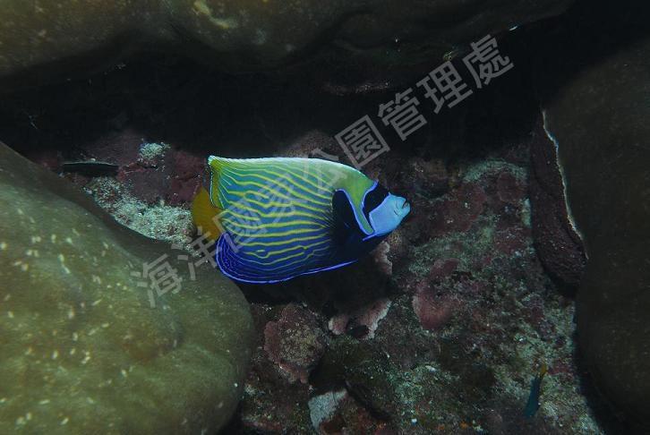條紋蓋刺魚