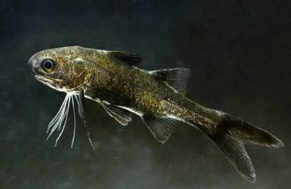海底生物探測器—五絲多指馬鮁