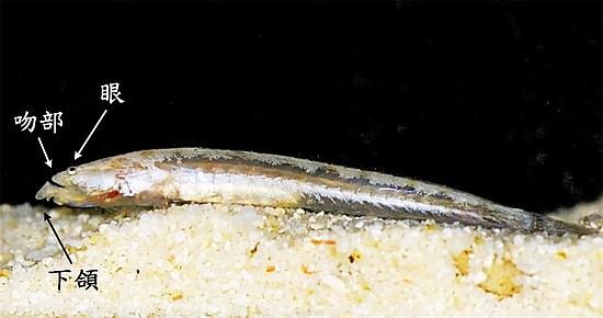 東沙島發現臺灣新紀錄種魚類—穴沙鱧